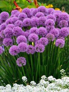 Allium Millennium