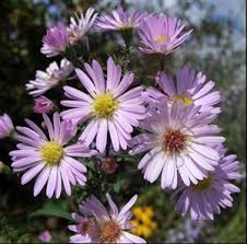 "Aster ""Les Moutiers"""