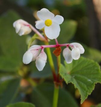 Begonia grandis subsp. evansiana alba