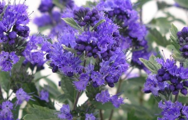 Caryopteris Dark Knight