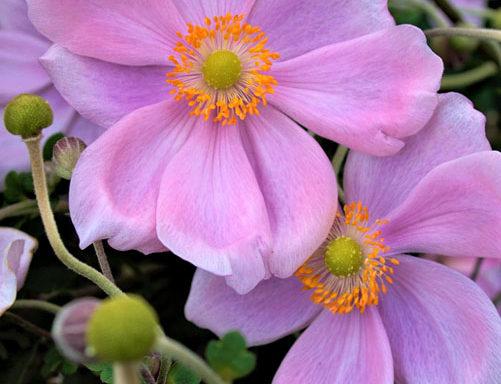 Anemone Serenade