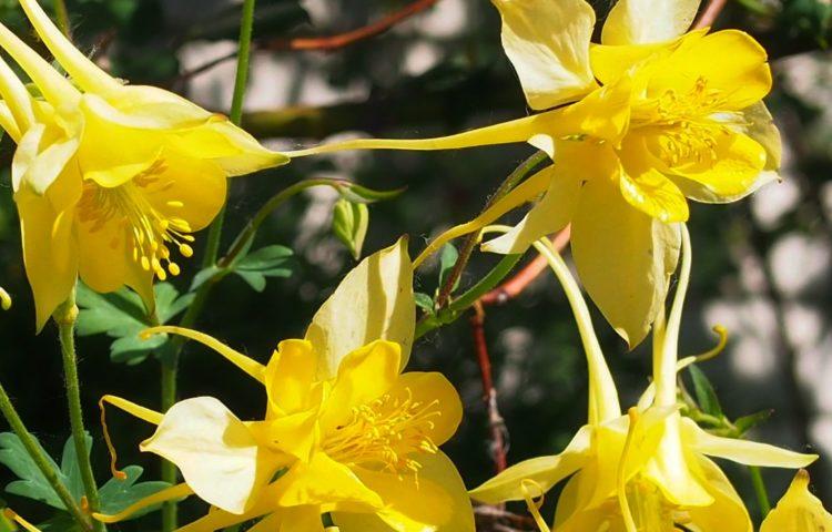 Aquilegia chrysanta Yellow Queen