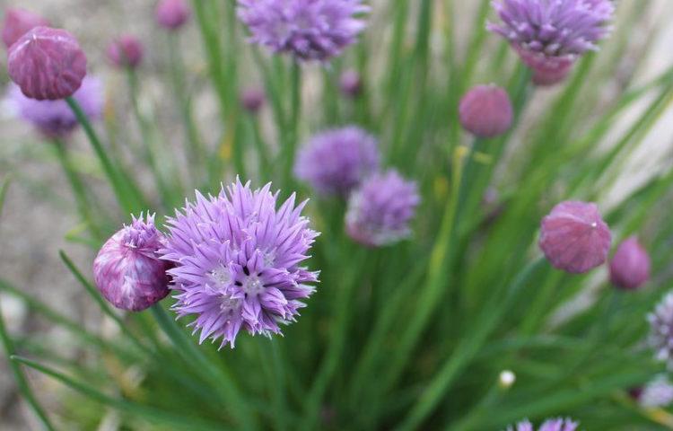 Allium schoenoprasum Rising Star