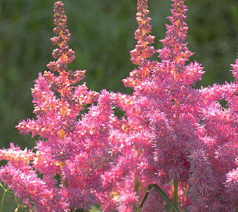 Astilbe chinensis, roze