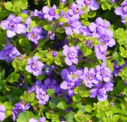 Bacopa Indigo Blue