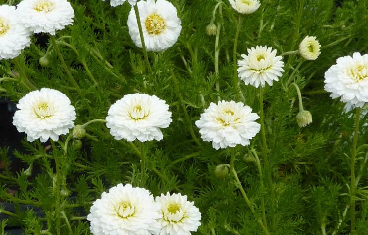 Chamaemelum nobile Flore Pleno