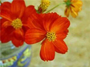 Cosmea sulphurea Red Crest