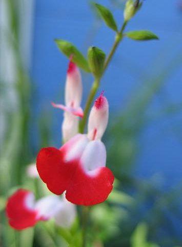 Salvia microphylla Hotlips