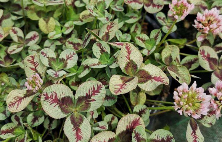 Trifolium repens Dragon's Blood