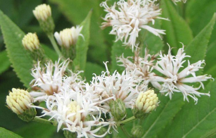 Vernonia crinita alba