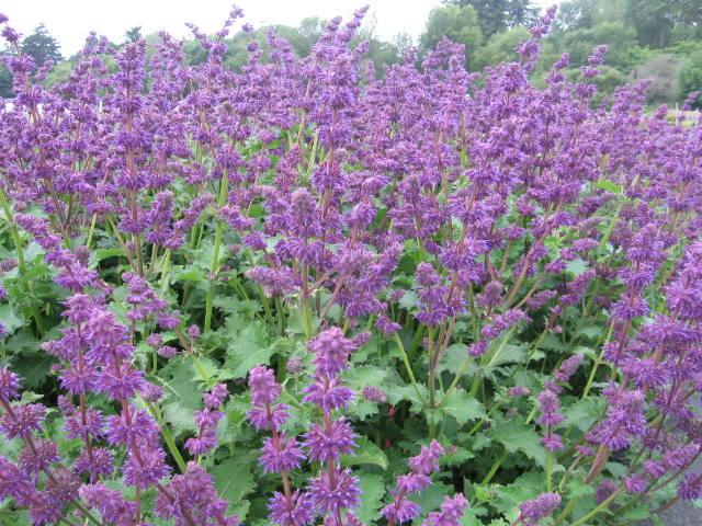 "Salvia verticillata ""Purple Rain"""