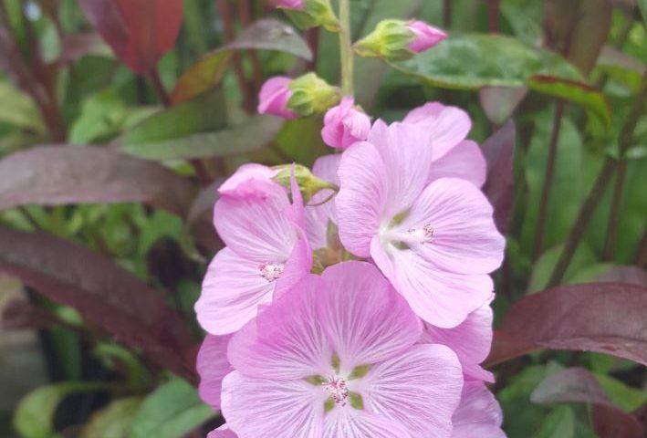 Sidalcea Lilac Candice