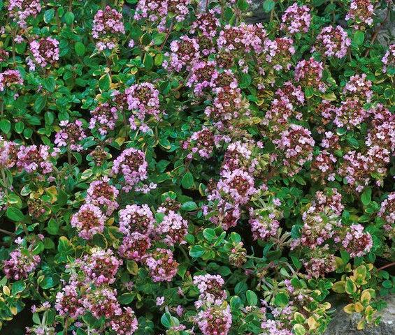Thymus citriodorus Doone Valley